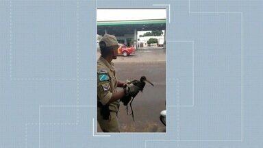 Ave capturada em Corumbá militares dos bombeiros divide opinião dos telespectadores - Em Corumbá.