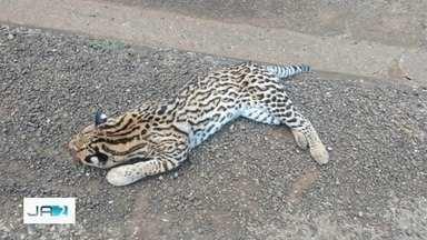 Principal causa de morte de animais silvestres em Goiás é atropelamento, aponta estudo - Muitos deles correm risco de serem extintos.