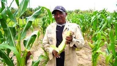 Grão do milho não se desenvolve e produtores de União sofrem prejuízos - Grão do milho não se desenvolve e produtores de União sofrem prejuízos