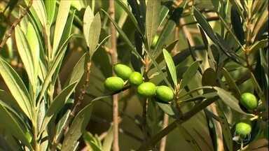 Conheça a azeitona do ceilão - Muita gente confunde a planta com a oliveira, a árvore que produz a azeitona tradicional.