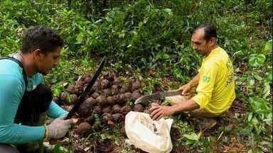 Globo Rural – Edição de 24/03/2019 - Programa mostra trabalho conjunto para aumentar a produção de castanha em reserva no Acre.