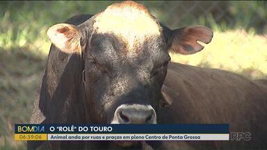 Touro circula por centro de Ponta Grossa e chama atenção de moradores - O dono do animal apareceu e vai ter que pagar multa para pegar animal de volta.