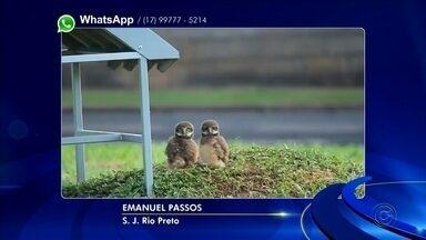 Família de corujas vive na frente de condomínio em Rio Preto - Uma moradora de São José do Rio Preto (SP) flagrou uma família de corujas morando na frente de um condomínio da zona leste da cidade.