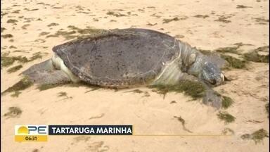 Tartaruga é encontrada morta em Boa Viagem - Animal tinha um ferimento na cabeça e estava com casco quebrado.