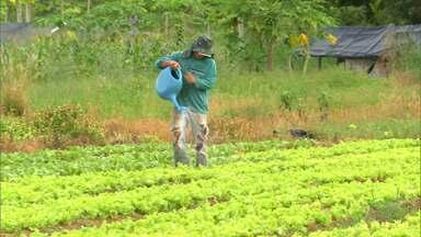 Produção de hortaliças sofre queda com o período chuvoso no sul do Maranhão - Queda atingiu os 70%. Horticultores que trabalham na região de Balsas sofrem com os prejuízos.