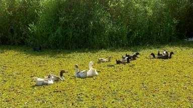 Plantas aquáticas tomam lago e ameaçam vida aquática Pederneiras - Lagoa do Parque Ecológico foi totalmente coberto pela vegetação e falta de oxigênio pode causar mortandade de peixes. Suspeita é que vazamento de esgoto seja causa do desequilíbrio.