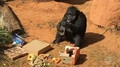 Justiça determina transferência de chimpanzé para o Santuário dos Primatas - O animal, que tem 48 anos e vive no Zoológico Municipal 'Quinzinho de Barros', será transferido para um santuário em Sorocaba (SP). O pedido de transferência foi feito por duas entidades de proteção aos animais.
