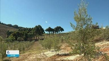 Festa do Azeite proporciona passeio do público pelas oliveiras - Festa do Azeite proporciona passeio do público pelas oliveiras