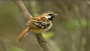 """O Farinheiro, Pássaro Falante - No Vale do Cariri uma espécie de pássaro virou xodó dos moradores e turistas ao ter um canto parecido com a frase """"tem farinha aí""""."""
