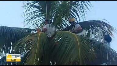 Homem fica preso em coqueiro por duas horas e meia - Ele foi apanhar coco nos fundos do Ministério da Aeronáutica, mas não conseguiu descer.
