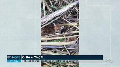 Filhotes de onça-parda são encontrados em canavial - As onças foram encontradas por dois cortadores de cana em Nova Aliança do Avaí, no noroeste do estado.