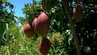Avança: Bahia se destaca como o segundo estado produtor de frutas do país - O grande polo da fruticultura baiana está localizado na região norte do estado.