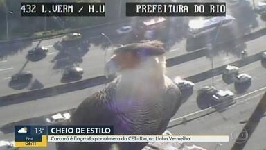 Carcará 'posa' para câmera da CET-Rio - Registro aconteceu na Linha Vermelha, na altura da Ilha do Governador.