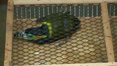 Mais de 100 animais são apreendidos em cidades de fronteira no RS - Algumas das aves silvestres estão ameaçadas de extinção.