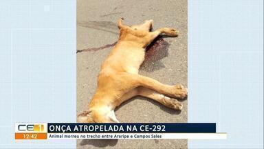 Onça é atropelada e morre na CE-292, entre Araripe e Campos Sales - Confira mais notícias em g1.globo.com/ce