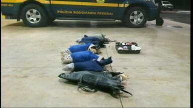 PRF encontra galos transportados dentro de sacolas em São Borja - Segundo a polícia, os animais possivelmente seriam usados em rinhas. O motorista do veículo vai responder por crime ambiental .