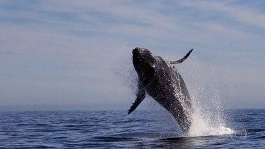 Aparições de baleias jubartes cada vez mais próximas à costa chamam atenção - Especialistas dizem que, daqui pra frente, o número deve aumentar ainda mais. Grupo que filmou salto de baleia há poucos metros, no Rio, fala sobre encontro.