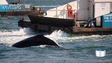 Baleias são flagradas próximo à balsa em Ilhabela - Registro foi feito no sábado (22) pelo fotógrafo Júlio Cardoso, que conta ter visto 16 jubartes nadando entre 10h30 até 14h.