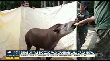 Antas vão ganhar uma nova casa - Os dois animais serão transferidos do zoológico de Sorocaba e irão para uma reserva ambiental no Rio de Janeiro,