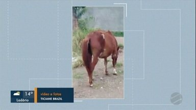 Telespectadora denuncia caso de maus-tratos em égua - O animal está prenhe e bastante debilitado.