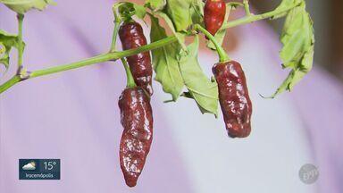 Conheça as pimentas mais ardidas do mundo - Equipe da EPTV, vai mostrar e provar as pimentas mais ardidas do mundo.