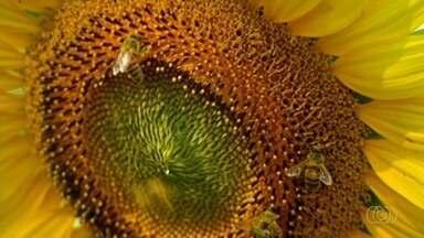 Conheça a produção de girassol em Goiás - Entenda o que os produtores da planta enfrentam.