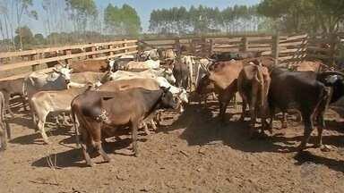 Raiva animal é registrada em Sorriso - Vaca estava prenhe de sete meses. É o segundo caso no município este ano.