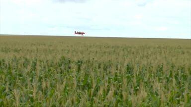 Expectativa da safra do milho safrinha anima produtores no Sul do Piauí - Expectativa da safra do milho safrinha anima produtores no Sul do Piauí