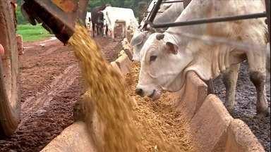 Cresce procura por subproduto do milho na alimentação do gado em Mato Grosso - O DDG é um concentrado rico em proteínas muito procurado para ração animal.