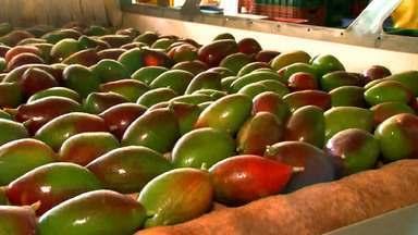 Regras sanitárias para exportação de frutas ficarão mais rigorosas em setembro - Dentre as novas medidas está o monitoramento do controle da mosca das frutas.