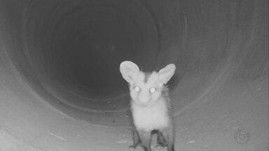 Túneis ajudam a evitar acidente com animais silvestres em rodovias de SP - Uma iniciativa simples está ajudando a salvar vidas de animais silvestres em rodovias estaduais e federais. Túneis e passarelas estão sendo construídos para que os animais passem de um lado para o outro da pista sem correr o risco de provocar acidentes.