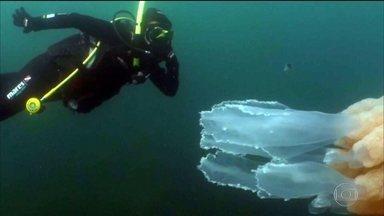 Mergulhadora nada ao lado de água viva gigante e vídeo viraliza na web - Fantástico conversou com a bióloga inglesa Lizzie Daly, a mulher que aparece nas imagens: 'Nunca tinha visto uma água viva tão grande assim e tão perto, foi incrível'.