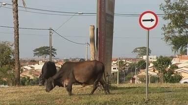 Animais soltos em vias públicas geram preocupação em Rio Preto - Animais de grande porte estão soltos nas ruas de São José do Rio Preto (SP) e geram transtornos e preocupação para os motoristas.