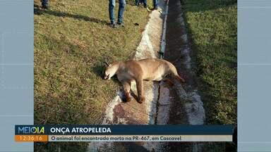Onça parda é encontrada morta na BR-467 - Segundo a Polícia Ambiental, o animal foi atropelado.