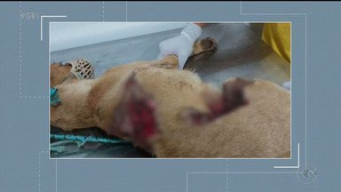 Cadela é encontrada com sinais de agressão e queimaduras em Belo Jardim - A suspeita é que uma mulher tenha feito isso por estar incomodada com a presença do animal na porta de casa.