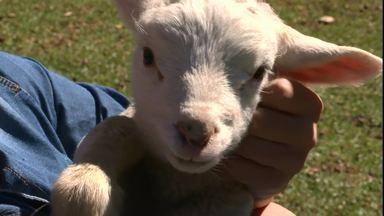 Conheça a história do criador de ovelhas que vendia a carne e hoje só negocia a lã - A família se apaixonou pelos animais, que viraram de estimação e ganharam até nome