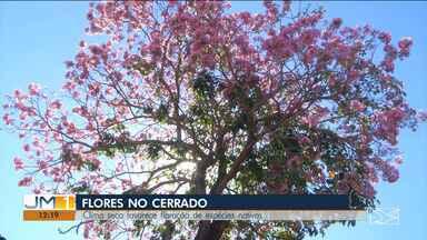 População reclama da baixa umidade relativa do ar na região sul do Maranhão - Em Balsas, a população reclama dos efeitos. Em compensação, é nesse período do ano que a cidade fica mais bonita com a floração de muitas espécies do cerrado.