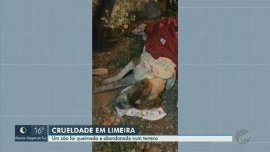 Cão é enrolado em cobertor e queimado em Limeira; animal foi resgatado e levado a clínica - Caso ocorreu na noite de sexta-feira (16). ONG foi chamada após pessoa que passava pelo local ter visto fogo e ouvido cachorro gritando.