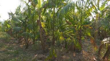 Tempo seco causa ressecamento de açaizeiros e produtores temem perder até 40% do plantio - Tempo seco causa ressecamento de açaizeiros e produtores temem perder até 40% do plantio