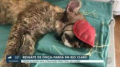 Filhote de onça-parda é encontrado às margens da Rodovia SP-101, entre Rio Claro e Ipeúna - Animal foi resgatado pelo Corpo de Bombeiros de Rio Claro (SP) na madrugada desta terça-feira (20) e levado para a Associação Mata Ciliar, em Jundiaí (SP).