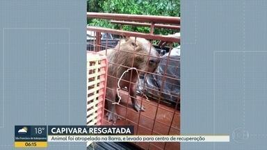 Capivara é resgatada na Barra - O bicho foi atropelado na avenida Abelardo Bueno. Agentes da guarda municipal levaram a capivara para um centro de recuperação de animais silvestres.
