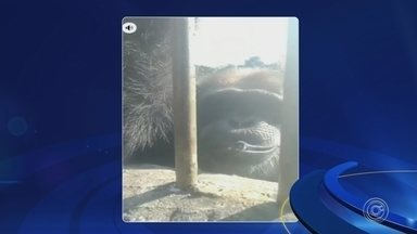 MP vai investigar maus-tratos a chimpanzé de santuário que fumou cigarro em vídeo - O Ministério Público vai investigar maus-tratos a um chimpanzé que vive no Santuário dos Grandes Primatas, em Sorocaba (SP). Um vídeo que circula nas redes sociais mostra o animal fumando um cigarro.