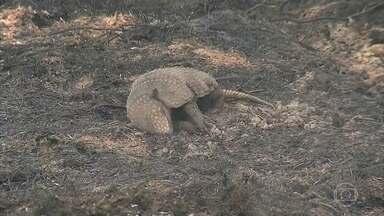 Grande incêndio está destruindo área de preservação ambiental em Castilho, interior de SP - Alguns animais não conseguiram escapar e morreram.