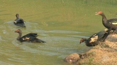 Patos são devolvidos a parque contaminado por óleo em Jundiaí - Os 35 patos que vivem no parque botânico do bairro Jardim das Tulipas, em Jundiaí (SP), mas que ficaram por cinco dias na Mata Ciliar voltaram para casa nesta quarta-feira (28). Eles tiveram que ser removidos do parque por conta de um derramamento de óleo e retornaram limpinhos depois de um banho especial. Os frequentadores já estavam com saudades.
