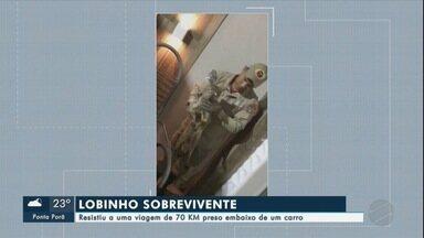 """""""Lobinho"""" resistiu a uma viagem de 70 km preso embaixo de carro - O motorista viajava pela BR – 262 e diz que sentiu um impacto, no veículo, quando passou por Porto Morrinho. Mas, só ao chegar na garagem de casa em Corumbá, descobriu que havia dado carona a um """"Lobinho""""."""