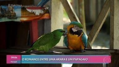 Arara e papagaio vivem 'história de amor' inusitada - Aves de espécies diferentes abandonaram seus pares originais e agora não se largam mais