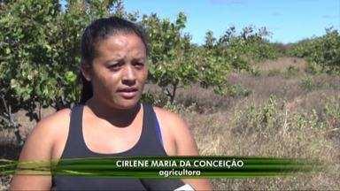 Produtores de caju de Santo Antônio de Lisboa estão animados com a colheita do ano - Produtores de caju de Santo Antônio de Lisboa estão animados com a colheita do ano