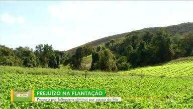 Tempo frio causa prejuízo na plantação de produtores rurais de Barra Mansa - Procura por folhagens diminui por causa do inverno.