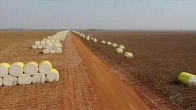 Os fardos de algodão no campo e o risco do fogo - Fardos ficam cerca de 35 dias no campo até serem enviados para beneficiadoras.