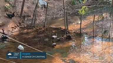 Morador cerca rio em área de preservação ambiental para criar patos em Campinas - Caso ocorre no Ribeirão das Cabras, no Distrito de Sousas. Homem não tem autorização para interferir no local.